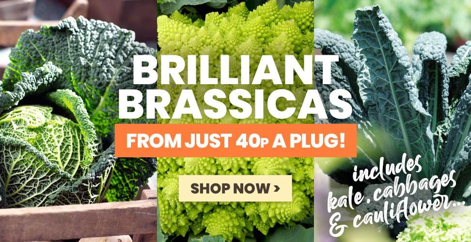 Brilliant Brassica Plants - Despatching Now!